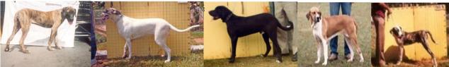 5 - Cães reprovados AFT x sobraci